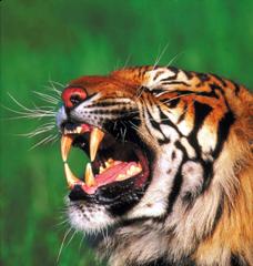 Talk for Writing short burst writing tiger